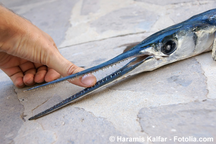 spitze-zaehne-beim-hornfisch